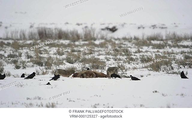 Coyote pack feeing in the previous night kill in Yellowstone National Park