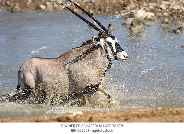 Gemsbok or Gemsbuck (Oryx gazella) at a waterhole in Etosha National Park, Namibia, Africa