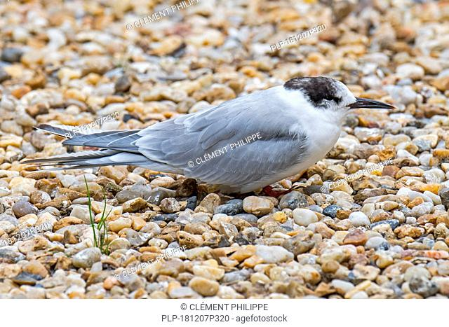 Common tern (Sterna hirundo) in non-breeding plumage resting on shingle beach in late summer