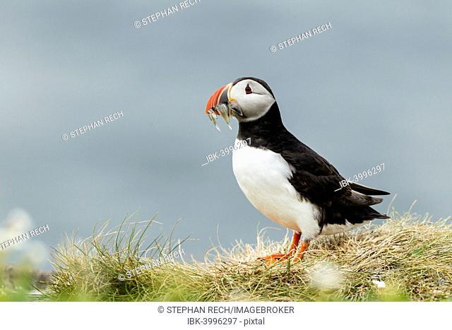 Puffin (Fratercula arctica), Farne Islands, Northumberland, England, United Kingdom