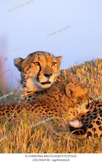 Cheetahs (Acinonyx jubatus). Okavango Delta, Botswana, Africa
