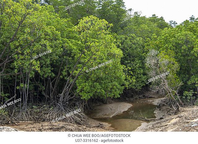 Mangrove trees at Telok Melano, Sematan, Sarawak, Malaysia