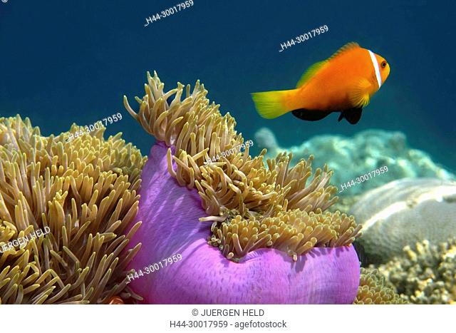 Maladives, South Male Atoll, Biyadhoo Island, False Clown fish with anmone, Amphiprion nigripes, Amphiprion ocellaris, Biyaadhoo, Biyadhoo, Biyadoo, Blackfinned