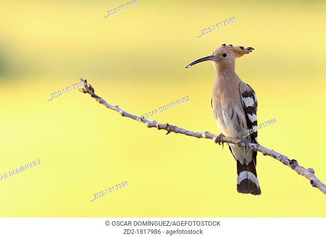 Common Hoopoe Upupa epops with prey in its beak  Lleida  Catalonia  Spain