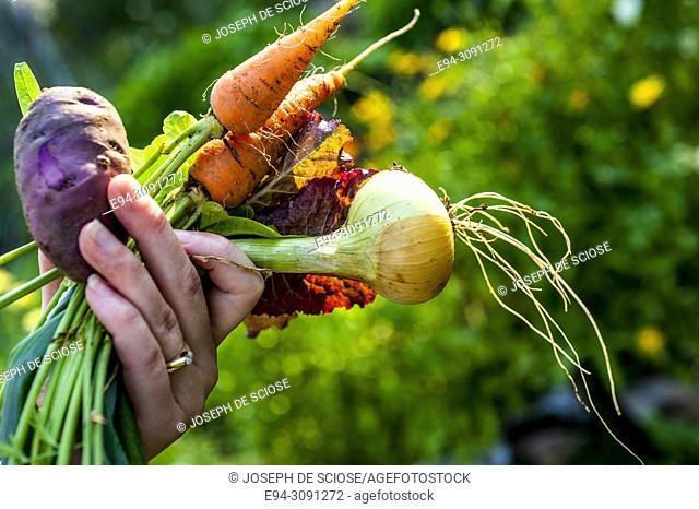A partial vies of woman gardener holding recently harvested vegetables from the garden