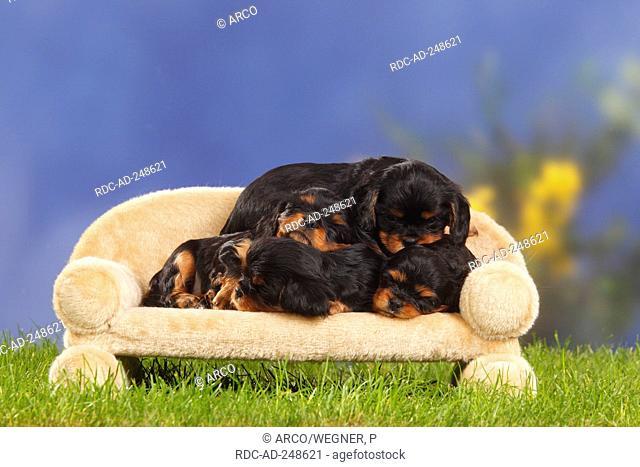 Cavalier King Charles Spaniel puppies black-and-tan 5 weeks sofa