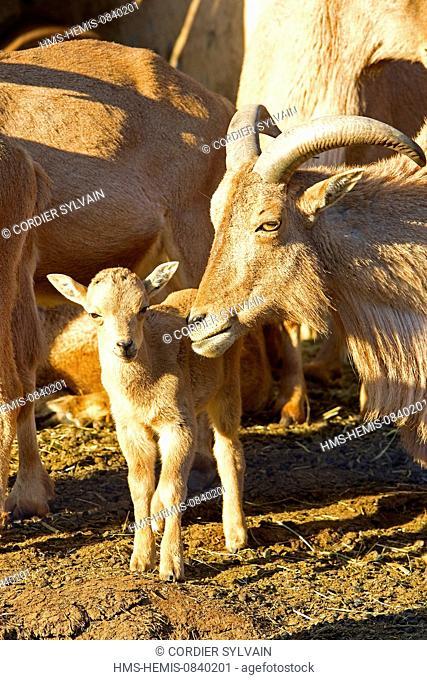 France, Bouches du Rhone, the Zoo de La Barben, Barbary Sheep (Ammotragus lervia)