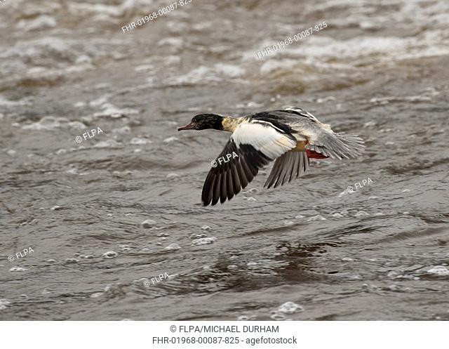 Goosander Mergus merganser adult male, in flight over water, River Nith, Dumfries and Galloway, Scotland, november