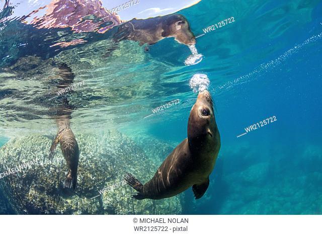 Adult California sea lions (Zalophus californianus) underwater at Los Islotes, Baja California Sur, Mexico, North America