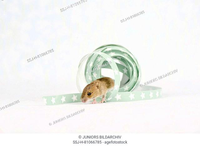 Wood Mouse (11 days old) next to gift ribbon. Germany