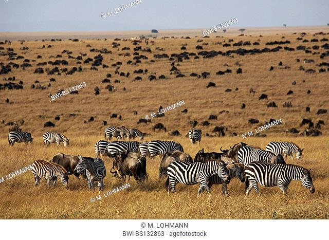 blue wildebeest, brindled gnu, white-bearded wildebeest, common zebra, plains zebra (Connochaetes taurinus, Equus burchelli)