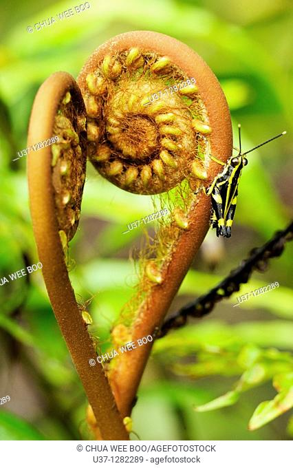 Young fern leaves and grasshopper. This image was taken at Semengoh Wildlife Centre