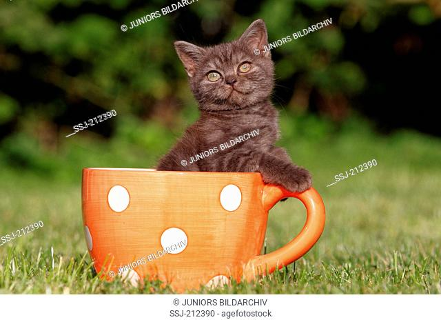British Shorthair. Brown kitten (8 weeks old) in a big coffee cup on a lawn. Germany