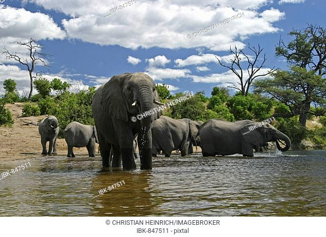 African Bush Elephants (Loxodonta africana) on the shores of Chobe River, Chobe River National Park, Botswana, Africa