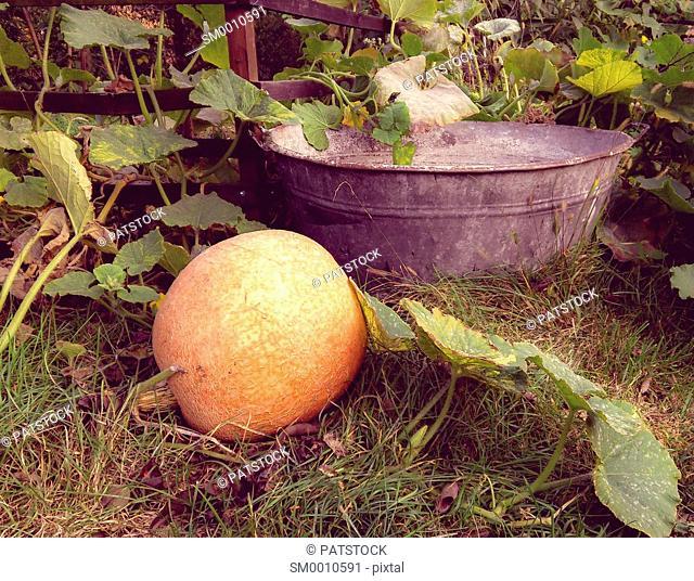 Nostalgic pumpkin and a tin tub