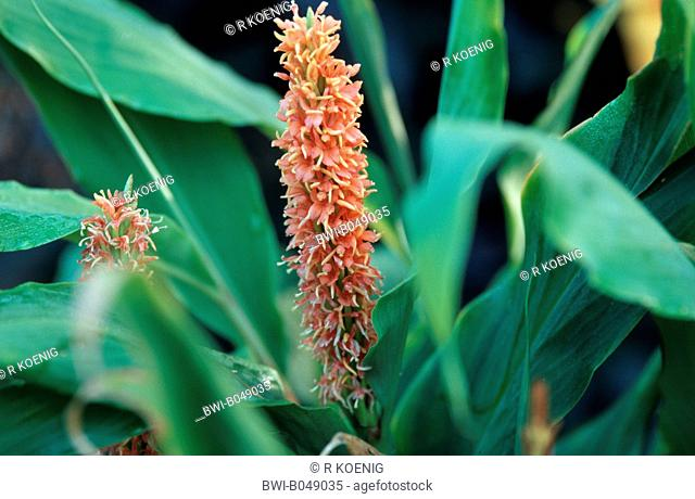 gingerlily Hedychium densifloum Assam Orange, Hedychium densifloum 'Assam Orange', blooming, cultivar Assam Orange