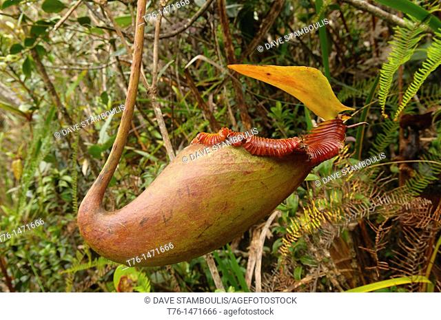 carnivorous pitcher plant Nepenthes Villosa in Kinabalu National Park in Sabah, Borneo, Malaysia