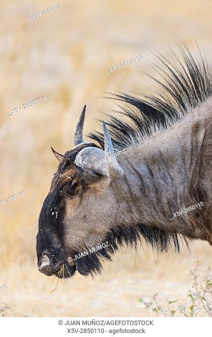 List wildebeest (Connochaetes taurinus), Etosha, Namibia, Etosha National Park