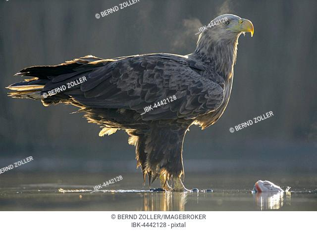White-tailed eagle (Haliaeetus albicilla), adult standing in shallow water of pond, condensing breath, with prey, Kiskunság National Park, Hungary