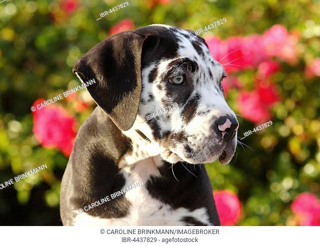 Great Dane, Canary Mastiff mongrel, puppy, 10 weeks, portrait, North Rhine-Westphalia, Germany