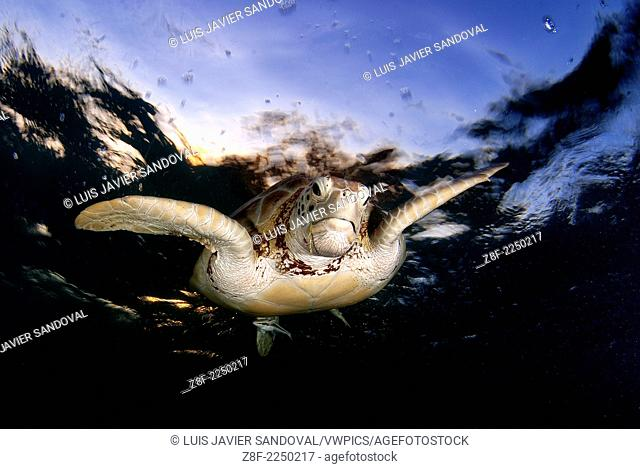 Green sea turtle, Chelonia mydas, swimming to the surface to take a breath in Akumal bay, Mexico