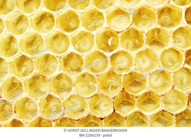 Newly-created wax comb of the honey bee (Apis mellifera var carnica) with larvae, worker bees, c. 5-7 days, in jelly