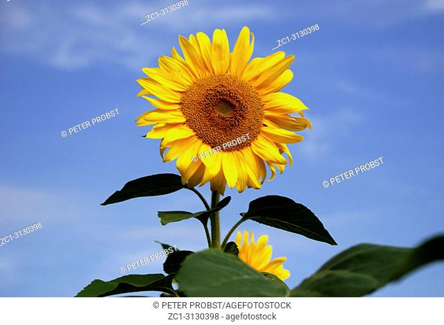 Sunflower in front of a blue sky on a summer's day in Bavaria - Helianthus annuus