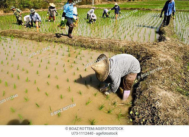 Thai farmers working in the paddy fields