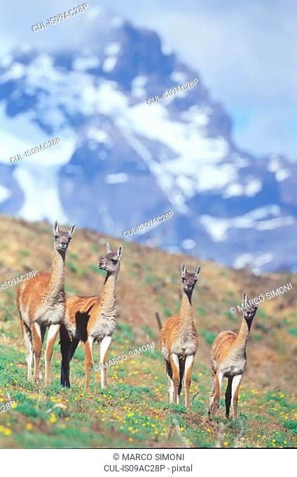 Four guanacos, Torres del Paine National Park, Patagonia, Chile