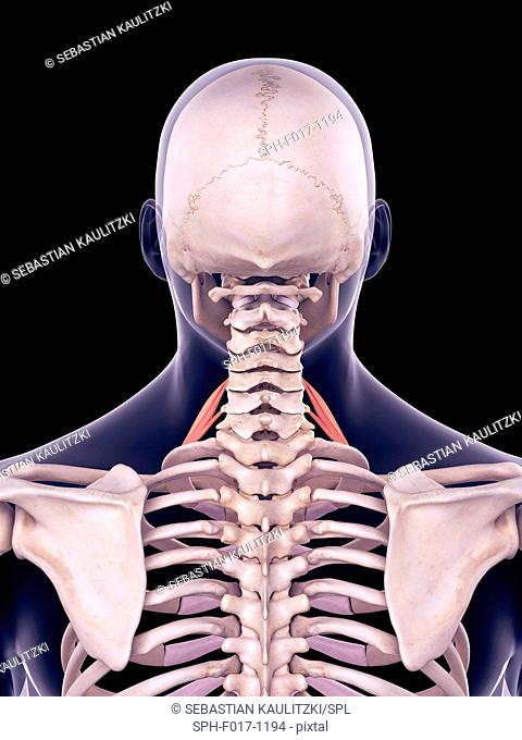 Illustration of the scalene anterior muscles