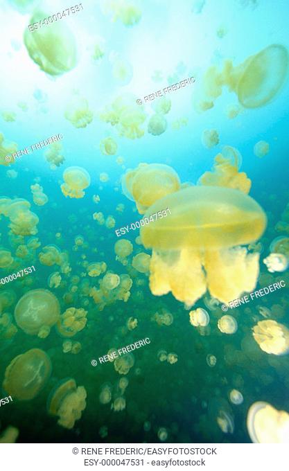 Mastagias. Jellyfish Lake. Palau. World Heritage Site. Micronesia