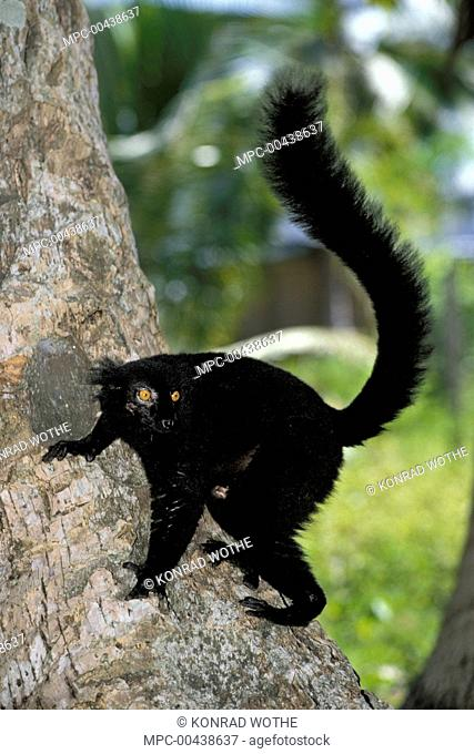 Black Lemur (Lemur macaco) male climbing tree, Nosy Komba, Madagascar