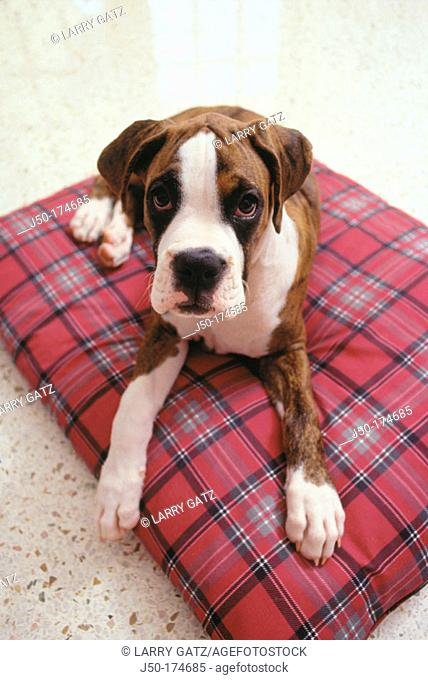 Boxer puppy resting on bed