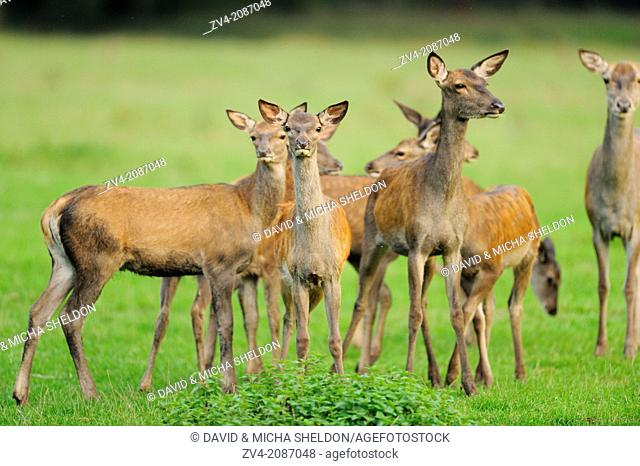 Red deer (Cervus elaphus) youngstera standing in a meadow at the edge of the woods