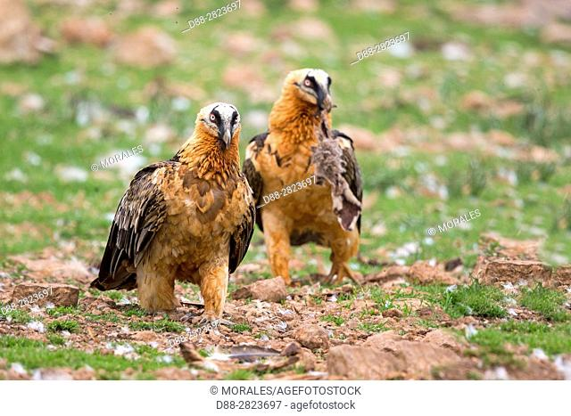 Europe, Spain, Catalonia, Lerida province, Boumort, Bearded vulture at the feeding station in the game reserve, adults