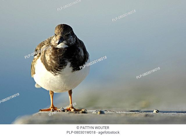 Turnstone Arenaria interpres on the look-out, Belgium