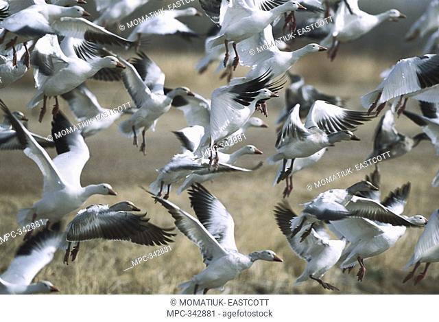 Snow Goose Chen caerulescens, huge flocks in flight at wintering grounds, early spring, Bosque del Apache National Wildlife Refuge, New Mexico