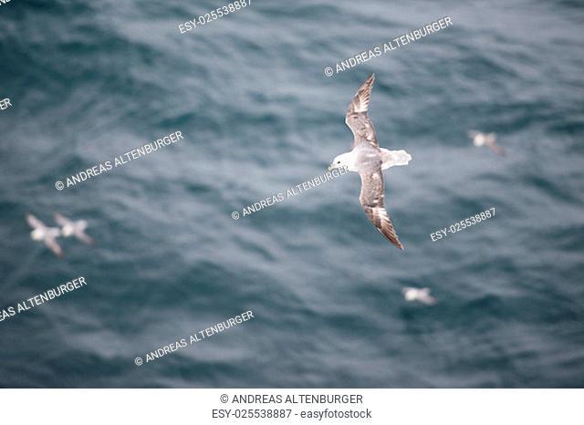 A flock of Northern fulmars, Fulmarus glacialis, flying over water