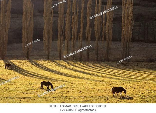 Horses grazing in Son. Pallars Sobirà. Lleida province. Catalunya. Spain