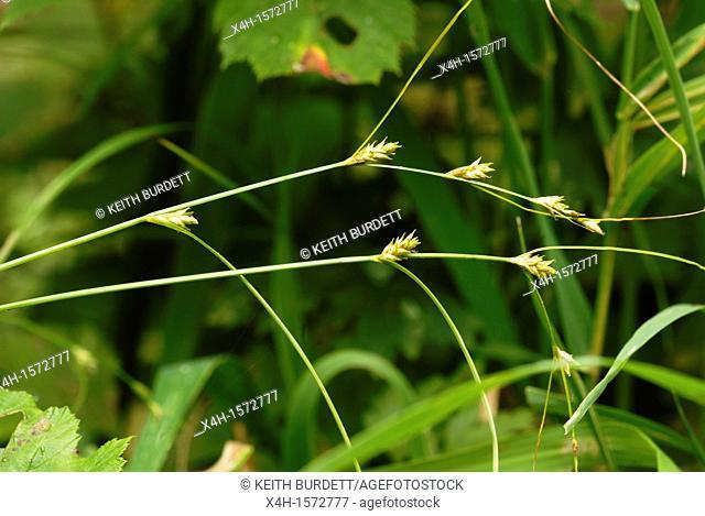 Carex remota, Remote Sedge flowers, Wales