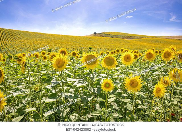 landscape of sunflowers until the horizon, in Vejer de la Frontera (Cadiz, Andalusia, Spain, Europe)