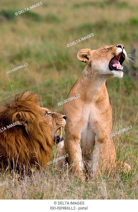 Lion and lioness (Panthera leo), Masai Mara National Reserve, Kenya