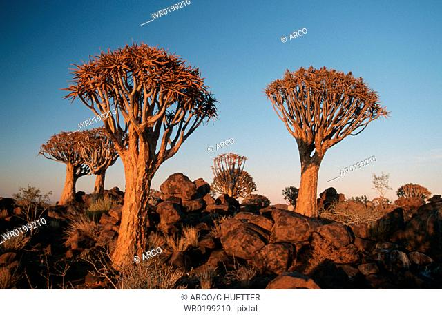 Quiver, Trees, in, evening, light, Keetmannshoop, Namibia,Aloe, dichotoma