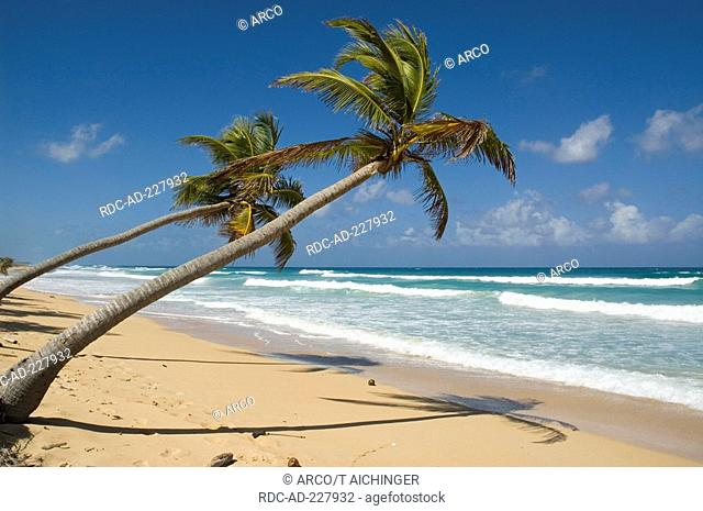 Beach with Coconut Palms, Punta Cana, Dominican Republic, Cocos nucifera