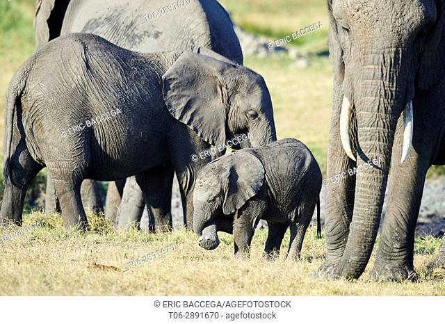 African elephant family with mother and young calf (Loxodonta africana), Duba Plains, Okavango Delta, Botswana, Southern Africa