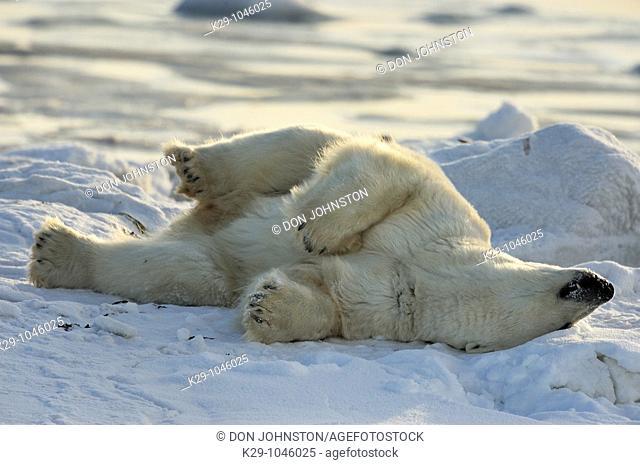 Polar bear Ursus maritimus Rolling in snow
