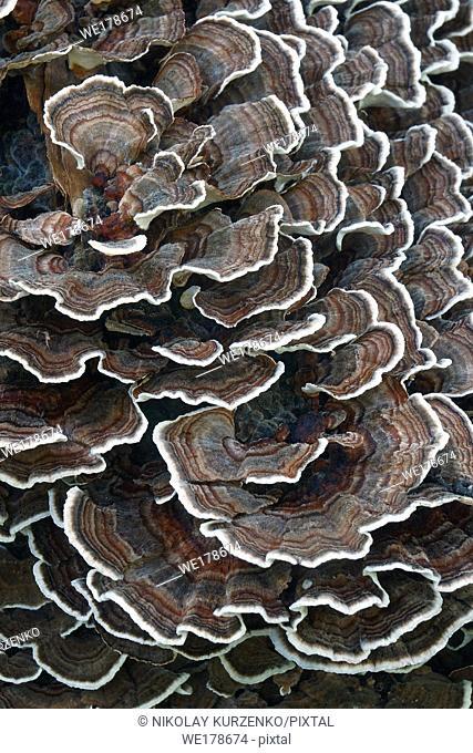Turkey tail (Trametes versicolor). Another scientific names are Coriolus versicolor and Polyporus versicolor