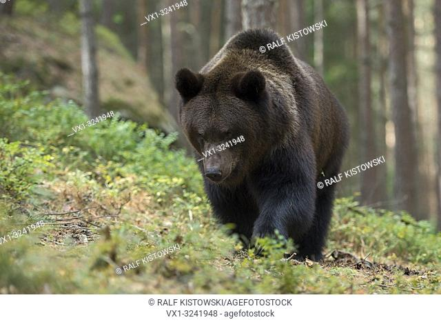 European Brown Bear ( Ursus arctos ), strong and powerful adult, walking through the undergrwoth of a forest, coming near, looks angry, Europe