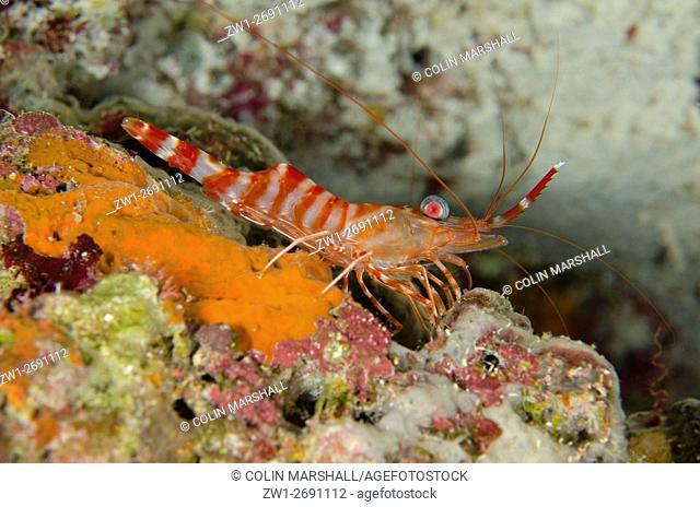 Striped Hinge-beak Shrimp (Cinetorhynchus striatus), Night dive, Wagmab dive site, Balbulol Island, Misool, Raja Ampat (4 Kings), West Papua, Indonesia