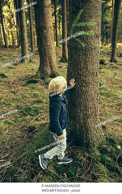 Little boy in forest touching bark of spruce tree